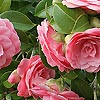 Camellia japonica - Mrs Tingley - Chinese Rose
