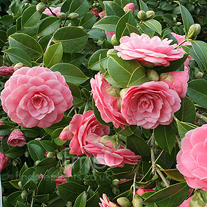 Camellia japonica - 'Mrs Tingley' (Chinese Rose)