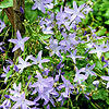 Campanula poscharskyana - Blue Waterfall - Campanula, Bellflower