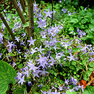 Campanula poscharskyana - Blue Waterfall (Campanula, Bellflower)