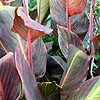 Canna - Phasion - Canna Lily