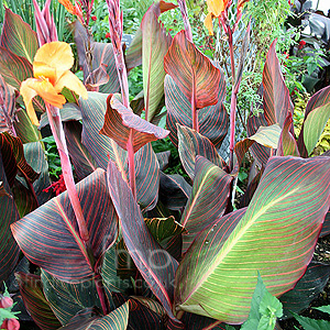 Canna - 'Phasion' (Canna Lily)