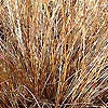 Carex - Comans-Bronze - Sedge, Carex
