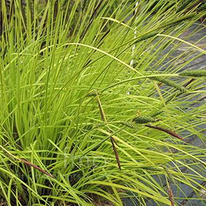 Carex elata - 'Aurea' (Bowles Golden Sedgesedge)