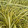Carex oshimensis - Evergold - Golden Sedge, Carex