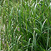 Carex pendula - Weeping sedge, Carex