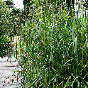 Carex pendula (Weeping Sedge, Carex)