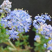 ceanothus 39 puget blue 39 californian lilac ceanothus. Black Bedroom Furniture Sets. Home Design Ideas