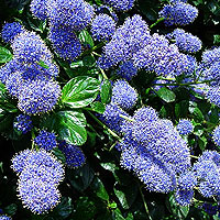 ceanothus 39 yankee point 39 californian lilac ceanothus. Black Bedroom Furniture Sets. Home Design Ideas