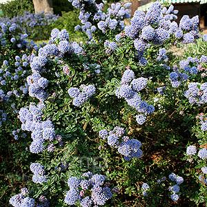 Ceanothus blue mound