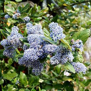 Ceanothus Arboreus Trewithen Blue Californian Lilac