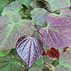 Cercis canadensis - click for full details