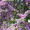 Cercis siliquastrum - Cercis, Judas tree, Love tree