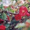 Chaenomeles X superba - Knap Hill Scarlet - Japanese Quince