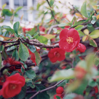 Chaenomeles X superba - 'Knap Hill Scarlet' (Japanese Quince)
