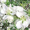 Chaenomeles speciosa - Jet Trail - Japanese Quince