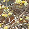 Chimonanthus praecox - Concolor - Winter Sweet, Chimonanthus