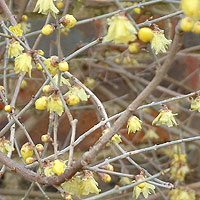 Chimonanthus praecox - 'Concolor' (Winter Sweet, Chimonanthus)