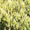 Chimonanthus praecox - Winter Sweet, Chimonanthus