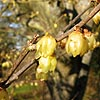 Chimonanthus praecox - Luteus - Winter Sweet, Chimonanthus