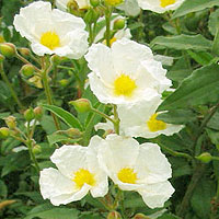 Cistus laurifolius (Rock Rose)