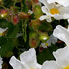Cistus populifolius - Major - Rock Rose