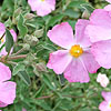 Cistus X argenteus - Peggy Sammons - Rock Rose