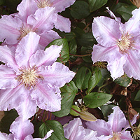 Clematis - 'Sealand Gem'
