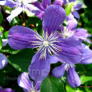 Clematis - 'Arabella' (Herbaceous Clematis)