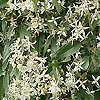 Clematis armandii - click for full details