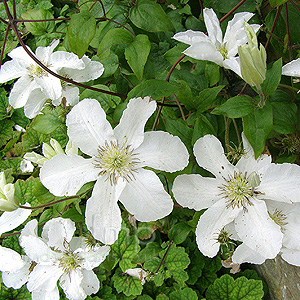 Clematis - 'John Huxable'