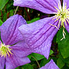 Clematis - M Koster