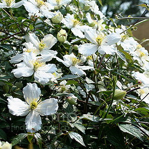 Clematis montana (Virgin's Bower)