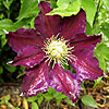 Clematis - The Vagabond - Clematis