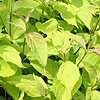 Cornus alba - Aurea - Golden Dogwood