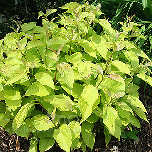 Cornus alba - 'Aurea' (Golden Dogwood)