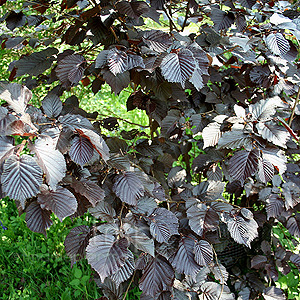 Corylus avellana - 'Purpurea' (Purple Leaved Hazel)