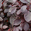 Cotinus coggygria - click for full details