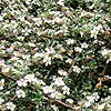 Cotoneaster microphylla - Cotoneaster