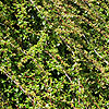 Cotoneaster - Skogholm - Cotoneaster