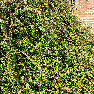 Cotoneaster - 'Skogholm' (Cotoneaster)