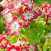 Crataegus - Crimson Cloud
