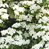 Crataegus monogyna - Common Hawthorn