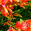 Crocosmia - Severn Sunrise - Crocosmia