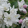 Deutzia longifolia - Veitchii - Beauty Bush