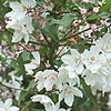 Deutzia purpurascens - Beauty Bush,  Deutzia