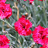 Dianthus - Fire Star - Dianthus, Chinese Pink