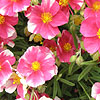Dianthus - Raspberry Ribble - Pink