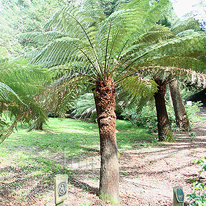 Dickinsonia antarctica (Tree Fern)