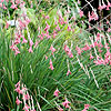 Dierama igneum - Angels Fishing Rod
